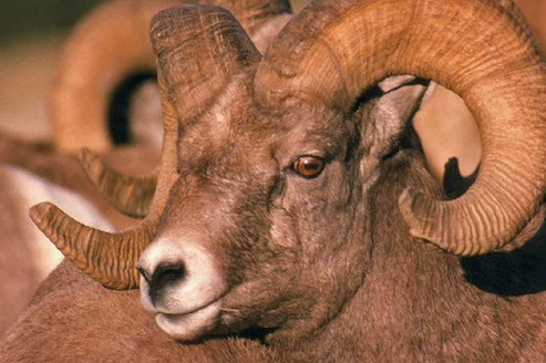 Nevada's Desert National Wildlife Refuge, largest in the lower 48 states, is home to desert bighorn sheep and other wildlife. (fws.gov)