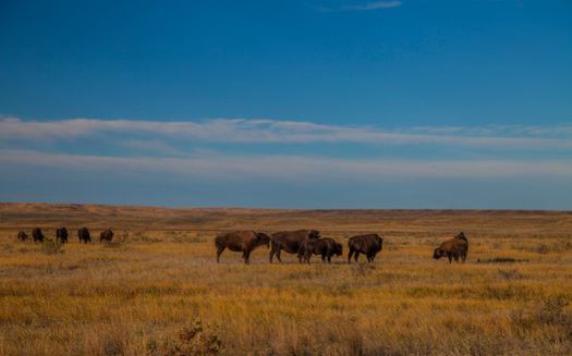 There are more than 800 bison in the American Prairie Reserve's conservation herd. (Dennis J. Lingohr/American Prairie Reserve)