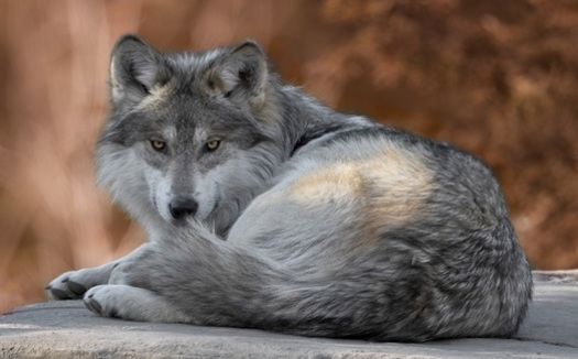 The rare Mexican gray wolf is protected in all states by the Endangered Species Act, except in parts of northeastern Utah, where it has been delisted. (gnagel/AdobeStock)