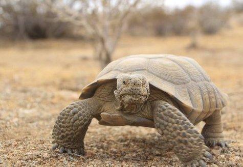 Nevada's Desert National Wildlife Refuge is home to the Sierra Nevada Bighorn Sheep, and the endangered desert tortoise. (refugeassociaiton.org)