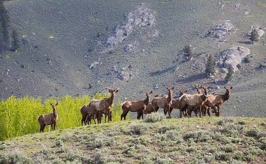 As of February 2020, chronic wasting disease has been identified in 31 of 37 (84%) Wyoming mule deer herds, and 9 of 36 (25%) elk herds in Wyoming. (Skeeze/Pixabay)