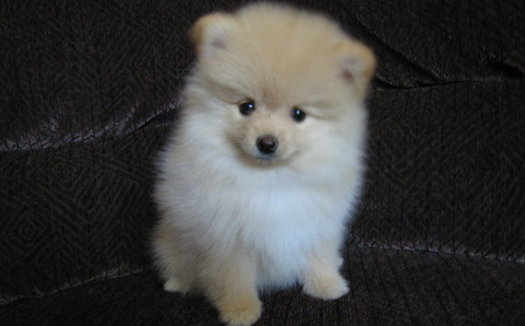 People looking for purebred puppies, including Pomeranians, are being targeted by scam online ads.   (Youngthousands/Flickr)