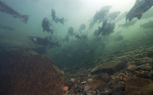 Salmon run numbers continue to plummet in the Columbia River basin. (Oregon Dept. of Fish & Wildlife/Flickr)