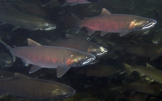 Temperatures have been above 68 degrees Fahrenheit at dams along the Columbia and Snake Rivers, which is dangerous for cold-water fish species. (Oregon Dept. of Fish & Wildlife/Flickr)