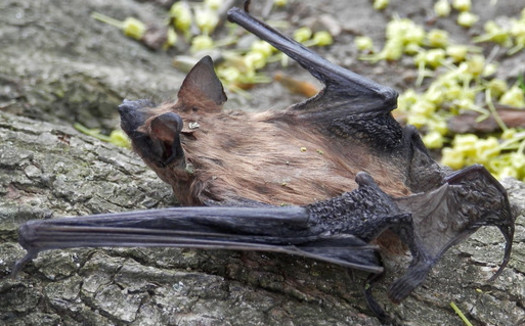 Bats are slow to reproduce, which makes it difficult to recover disturbed populations. (Ryan Hodnett/Flickr)