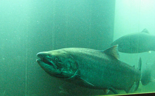 The governors of Oregon and other Northwest states have signed an agreement to work on recovery of salmon and steelhead. (Portland Corp/Flickr)
