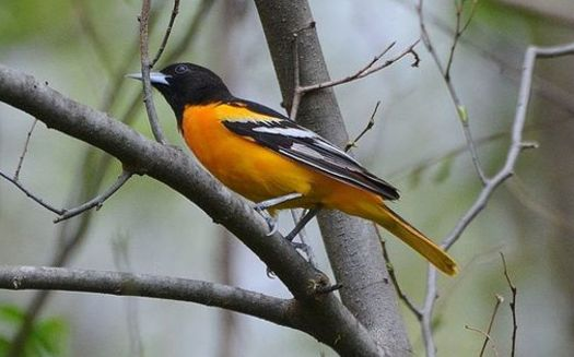 The Trump administration gutted protections for migratory birds including Maryland's endangered Baltimore oriole, whose population has declined by 44% since 1970. (Wikimedia Commons)