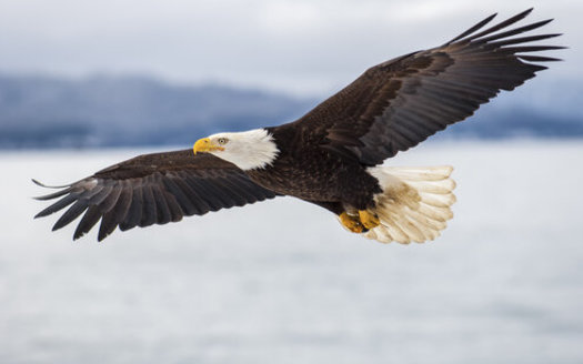 The Trump administration gutted protections for migratory birds by weakening a law that protects more than 1,000 species, including the bald eagle. (Adobe Stock)