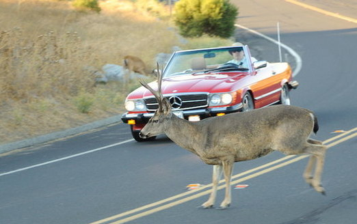 More than 150 people die each year and 290,000 are injured in wildlife-vehicle collisions nationwide. (Don DeBold/Flickr)<br />