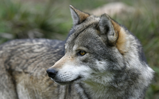Animal-rights groups are using Wisconsin's recent over-harvest of wolves as an argument for the Biden administration to reverse a Trump administration decision to remove federal endangered-species protections for wolves. (Adobe Stock)