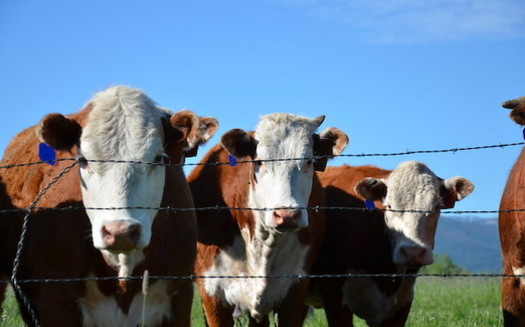 Unpasteurized milk presents certain health risks, according to public-health experts. (USDA NRCS Montana/Flickr)