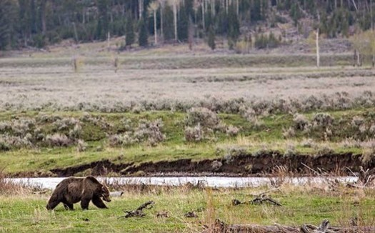 Before hunting and trapping brought grizzlies to the brink of extinction in the early 20th century, tens of thousands roamed across western states. (Neal Herbert/NPS)