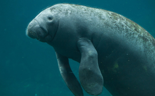 The most recent manatee population survey by the Florida Fish and Wildlife Conservation Commission shows 400 Florida manatees died in 2019. But 2021 could set a new mortality record, due to water pollution and loss of food and habitat. (Adobe Stock)