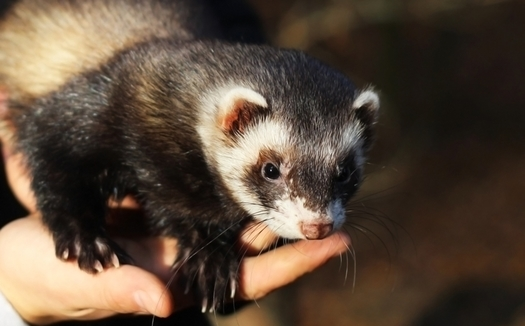 The black-footed ferret is among the dozens of threatened and endangered species in Arizona that would be protected under the Recovering America's Wildlife Act. (iriska/Adobe Stock)
