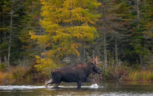 Funding from the Recovering America's Wildlife Act could help proactive efforts to protect the Maine moose population, the official state animal. (JMP Traveler/Adobe Stock)