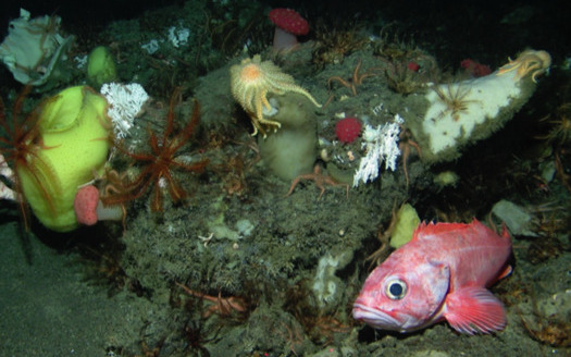 Sponge beds teeming with life, such as this one in Mendocino, can be destroyed by seabed mining. (Northwest Fisheries Science Center/NOAA)