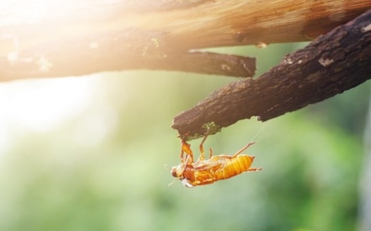 Hoosiers will soon start hearing the cicadas' Brood X mating call at a constant, high volume. And it's expected to last four to six weeks. (Smuangtim/Adobe Stock)