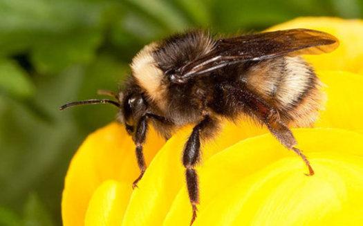 La población occidental del abejorro se ha derrumbado desde finales de los años 90; ahora es candidata para ser incluida en la Ley de Especies en Peligro de California.