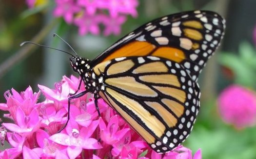 Conservation groups have launched a campaign to stop nurseries from selling pollinator-friendly plants such as milkweed that have been grown with harmful pesticides. (Pixabay)