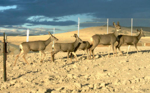 Nevada's mule deer population can migrate up to 100 miles. Many use overpasses built by the state in spots where they attempt to cross each year. (Nevada DOT)