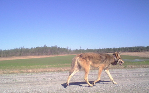 In a 2016 poll by the group Defenders of Wildlife, 73% of North Carolinians said they support red wolf recovery. (Wildlands Network)
