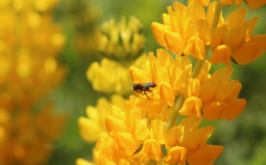 Gardeners are encouraged to plant bee-friendly flowers that bloom in succession to sustain the insects all season long. (David Bryant/California Native Plant Society)