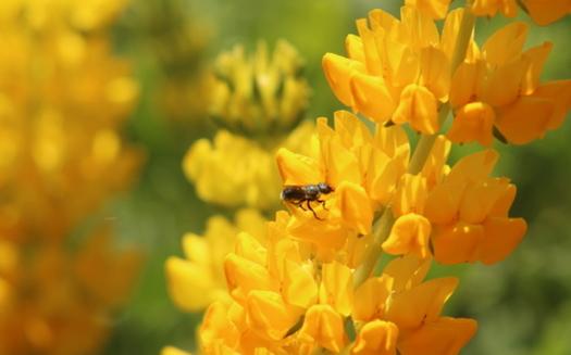 Animan a jardineros a plantar flores aptas para abejas que florecen en sucesión para sustentar a los insectos durante toda la temporada. (David Bryant/California Native Plant Society)
