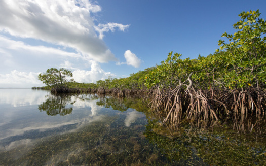 Florida mangroves' natural ability to curb flooding protected over 626,000 people during Hurricane Irma in 2017, according to a University of California Santa Cruz report. (Adobe Stock)