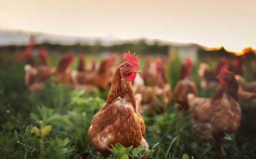Several agriculture commodities, including poultry, are controlled by four or five large corporations within each market. (Adobe Stock)