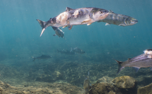 A video from July shows sockeye salmon with red lesions and fungus because of the Columbia River's hot water. (Conrad Gowell/Columbia Riverkeeper)