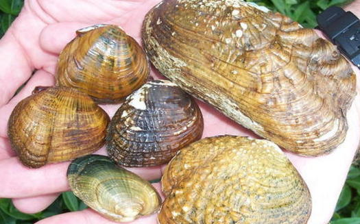 About 25 species of mussels live in the freshwater rivers and streams that flow into Chesapeake Bay. (Flickr)