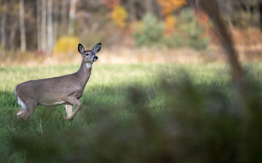 Chronic wasting disease can be transmitted between deer, along with food and soil contaminated by bodily fluids. (Adobe Stock)