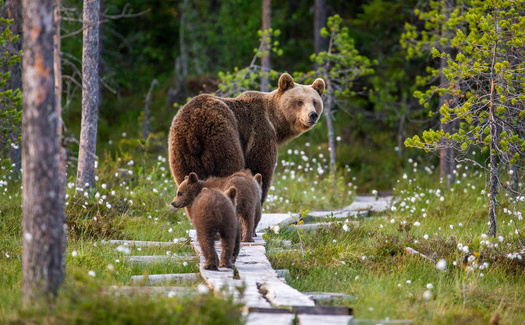 During late summer and fall, bears eat and drink nearly nonstop in preparation for winter hibernation, a process known as hyperphagia. (Adobe Stock)