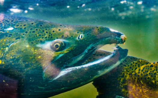 Sen. Patty Murray, D-Wash., has proposed $1 billion in culvert removal and restoration for salmon in the budget-reconciliation bill. (Bill Perry/Adobe Stock)