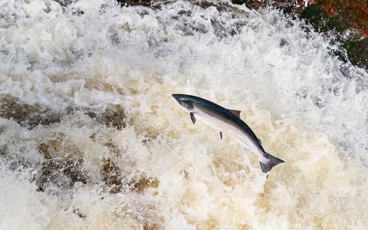 Roughly 1,000 Atlantic salmon remain in the Gulf of Maine. (jamie/Adobe Stock)