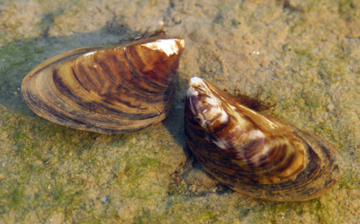 Zebra mussels are among the aquatic invasive species that have surfaced in Minnesota lakes. (Adobe Stock)