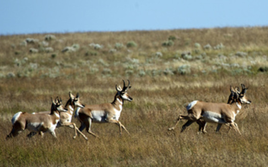 Pronghorn migrate hundreds of miles across the West's grasslands each year. (ichard Wright,Danita Delimont/Adobe Stock)