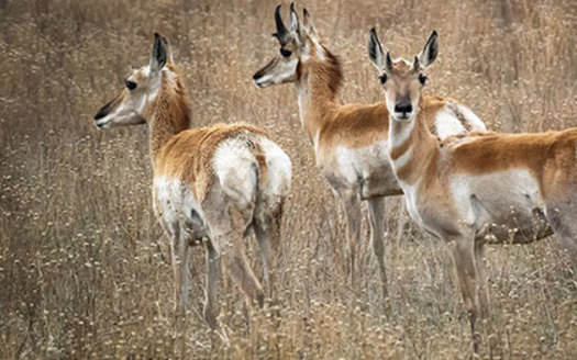 As many as 30 million pronghorn once roamed the plains and grasslands of North America. (magazine.wildlife.state.nm.us)