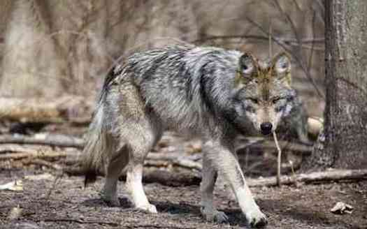 More than 70% of documented Mexican gray wolf deaths are human-caused, according to the environmental law firm Earthjustice. (Rebecca Bose/Wolf Conservation Center)