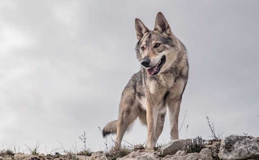 More than 100 Mexican gray wolves have been poached by humans since the lobos were added to the Endangered Species List in the 1980s. Fewer than 200 are left in the U.S. (Majurik/Adobe Stock)