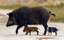 PHOTO: Feral pigs pose a serious threat to the critical habitat of many endangered species living in New Mexico, according to federal officials working to reduce the animals' population. Photo credit: National Park Service.