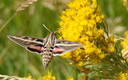 PHOTO: It's National Moth Week. The white-lined sphinx moth is commonly found in Wyoming at dusk. Photo credit: J. Pinta (Redline2200).