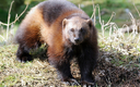 """PHOTO: They may be fierce, but are they tough enough to survive climate change? The U.S. Fish and Wildlife Service has withdrawn its proposal to classify the wolverine as """"threatened"""" under the Endangered Species Act. It is estimated there are fewer than 300 in the United States. Photo credit: kmwphotography/iStockphoto.com."""