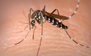 PHOTO: A new report from the National Wildlife Federation outlines how climate change is connected to a proliferation of menacing outdoor pests, such as the Asian tiger mosquito which is found in Arkansas. Photo credit: CDC/James Gathany