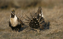 PHOTO: Agriculture and conservation groups are coming together to reach out to the oil and gas industry to collaborate on a plan to ensure the survival of the greater sage grouse, and help keep the bird off the Endangered Species list. Photo credit: U.S. Fish and Wildlife Service.