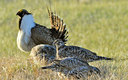 PHOTO: Several conservation groups are calling on an oil and gas group to work together on voluntary conservation efforts that can help the greater sage grouse from being listed as a threatened species. Photo credit: U.S. Fish and Wildlife Service.