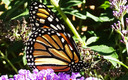 PHOTO: The monarch butterfly is one of the species found in Montana that are listed in a new report about plants and animals experiencing dramatic population declines. Photo credit: Deborah C. Smith