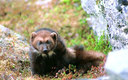 PHOTO: A U.S. Fish and Wildlife Service decision against listing wolverines as threatened under the Endangered Species Act is being challenged in court. Photo courtesy of the U.S. Fish and Wildlife Service.