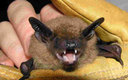 PHOTO: Halloween wraps up National Bat Week. The big brown bat is one of 16 types of bats found in Wyoming. They all feast on insects. Photo courtesy of U.S. Forest Service.
