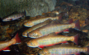 PHOTO: Worried about losses to wildlife, including brook trout now gone from a third of their former homes in Appalachia's cold-water streams, outdoor groups are backing EPA limits on greenhouse gasses. Picture of native brook trout from the U.S. Fish and Wildlife Service.